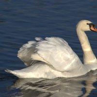 а белый лебедь на пруду ... :: Александр Касаткин