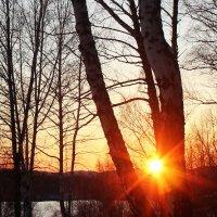 Село солнце на берёзы... :: Наталья Юрова