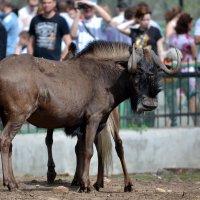 Антилопа - это просто конь, которому постоянно изменяют жёны... :: Борис Русаков
