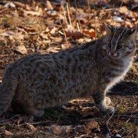 Дальневосточный лесной кот :: * Ульяна *