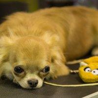 О чем думают собаки... :: Sergey Polovnikov