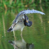 Синей птицы не стало меньше... :: Александр Гризодуб
