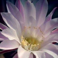 Цветущий кактус :: Наталья Саввина