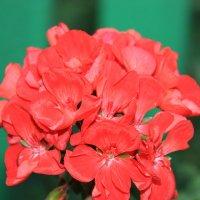 цветок :: Альфир Зиянгиров