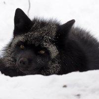 Чернобурая лисица :: Сергей Черных