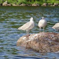 чайки :: Дмитрий Лупандин