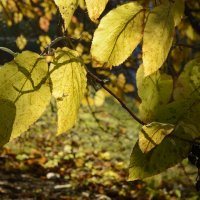 Жёлтый лист осенний... :: Alexandra Osipova