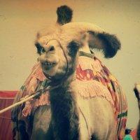 Верблюды :: Калгиза Осмонова