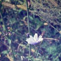 Полевые цветы :: Наталья Саввина