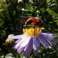 пчелка :: Татьяна Чернецова