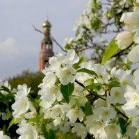 Яблоневый цвет :: Елена Привалова