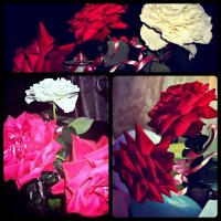 розы :: Кристина Бык