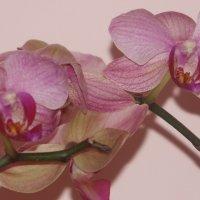 Орхідея :: Христя Стефанишина