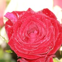 Роза :: Светуля Тонких