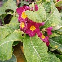 Первоцветы в ноябре :: Марина Ильина
