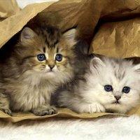 Котята :: Евгения Зарубина