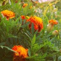 бархатцы в саду :: альбина хабибуллина