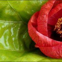 Цветок-укрытие :: Zenon F.