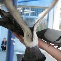 голуби :: Anna Danilova