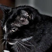 Кошка Варя :: Анатолий Зубанов