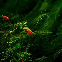 Аленький цветочек :: алексей афанасьев