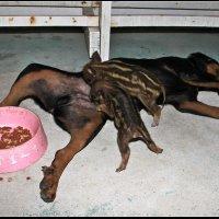 Два голодных поросенка :: DimCo ©