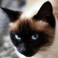 Матильда-из серии Кошки очарование мое! :: Shmual Hava Retro