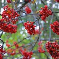 Только гроздья рябины... :: Константин Жирнов