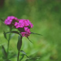 Цветики :: Ольга Могдалёва