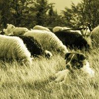 Пастух :: Андрей Щукин