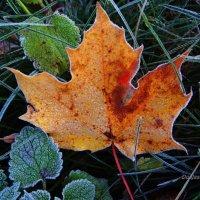 Кленовый лист, иней... :: Антонина Гугаева