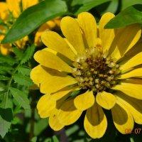 макро, цветы желтые :: Маргарита Подделкова