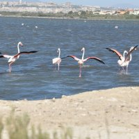 Фламинго :: Дмитрий Айбазов