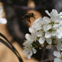 Пчелка :: Александр Кузьмин