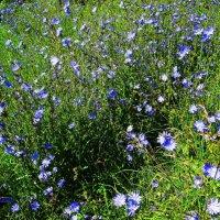 Луговые цветы. :: Антонина Гугаева