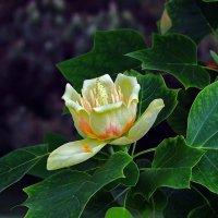Тюльпановое дерево цветет :: Александр Земляной