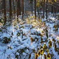 Малина под первым снегом :: Александр Садовский