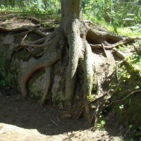 И на камнях растут деревья :: Константин Жирнов