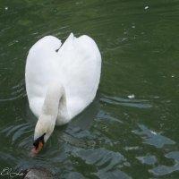 Белый лебедь :: Елена Сметанина