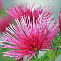 осенние цветы :: Светлана Скирта