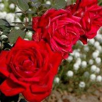 розы :: Евгений Фролов