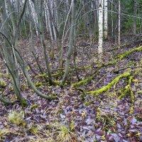 Ветви и корни. :: Валерий Молоток
