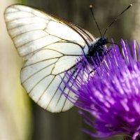 Бабочка :: Светлана Тишкова
