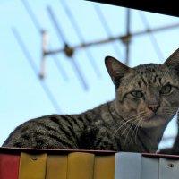 Кот, который живет на крыше :: Наталья Нарсеева