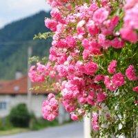Плетистая роза :: Любовь Б