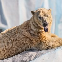 Белый медведь :: Nn semonov_nn