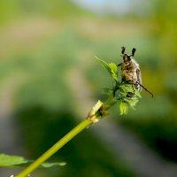 Майский жук :: Юрий Бичеров