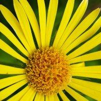 Жёлтая ромашка :: Александр Тихомиров