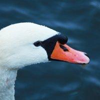 Лебедь :: ViP_ Photographer