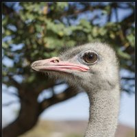 Tenerife. На страусиной ферме, портрет . :: Jossif Braschinsky
